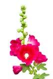 Dark pink Hollyhocks flower isolated Stock Photo
