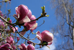 Dark pink magnolia flowers Stock Photography
