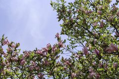 Dark pink magnolia flowers on tree branch. Branches of blooms against blue sky in the spring sunshine. View from below royalty free stock images