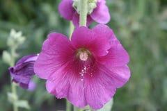 Dark pink mallow. Summer dark pink mallow flower Stock Image