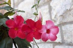 Free Dark Pink Mandevilla Royalty Free Stock Photos - 4986718