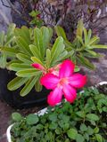 Dark pink one single desert rose with buds and leaves royalty free stock photography