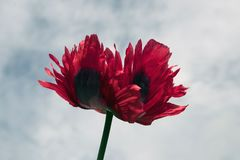 Opium Poppy Flower Close Up stock images