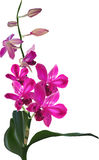 Dark pink orchid flowers on branch Stock Photos
