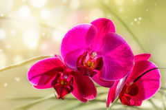 Dark pink orchid. Royalty Free Stock Photo
