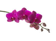 Dark pink orchid. Stock Images