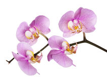 Dark pink orchid spotted flower branch Stock Photo