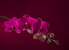 Dark pink  orchid Royalty Free Stock Image