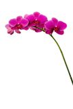 Dark Pink Orchids Stock Photos