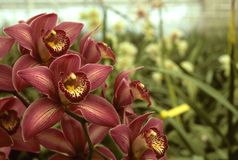 Dark pink orchids in a greenhouse Royalty Free Stock Photography