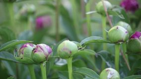 Dark pink peony buds crawling with ants and other insects stock video footage