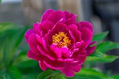 Dark pink peony flower growing in the garden, horizontal, closeup. Dark pink peony flower growing in the garden, horizontal closeup stock photography