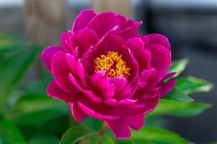 Dark pink peony flower growing in the garden, horizontal, closeup. Dark pink peony flower growing in the garden, horizontal closeup royalty free stock photos