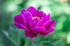 Dark pink peony flower growing in the garden, horizontal, closeup. Dark pink peony flower growing in the garden, horizontal closeup royalty free stock images
