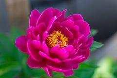 Dark pink peony flower growing in the garden, horizontal, closeup. Dark pink peony flower growing in the garden, horizontal closeup stock images
