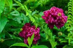 2 dark pink peony flowers in green garden surrounding on blurry green garden background royalty free stock photo