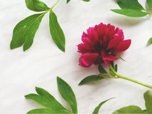 Dark pink peony on marble Stock Image