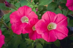 Dark pink petunia Royalty Free Stock Photography