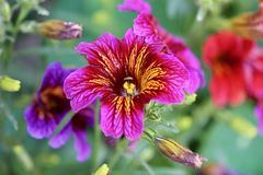 Dark pink and purple flowers with yellow stripes Royalty Free Stock Image