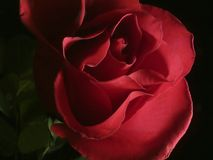 Dark pink rose. Close-up of dark pink rose on black background, lite from the side Royalty Free Stock Images