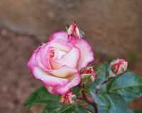 Pink rose closeup in the gardens Royalty Free Stock Photography