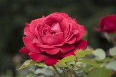 Dark pink rose Stock Photo