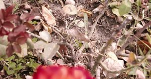Dark pink roses in a garden.Blooming rose in the rosegarden on a sunny day. stock video footage