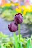 Dark pink tulips Stock Images