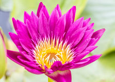 Dark pink water lily or lotus flower. Royalty Free Stock Photo