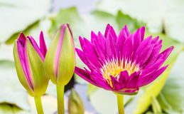 Dark pink water lily or lotus flower. Royalty Free Stock Photography