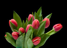 Dark pink wet tulips Royalty Free Stock Photography