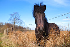 Dark pony on pasture Stock Image