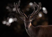 Dark Portrait of Red Deer Stag Royalty Free Stock Photos