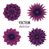 Dark puple dahlias collection. Top view on flowers. Elements for floral design. Vector illustration isolated on white Royalty Free Stock Photo