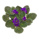 Dark purple african violet Royalty Free Stock Photos