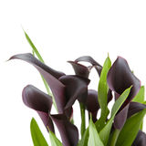Dark purple (black) calla lily plant. Isolated on white background Stock Photography