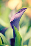 Dark purple calla Lilly flower on green garden background.  Stock Photos