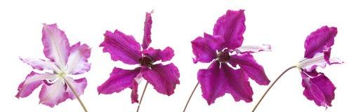 Dark purple clematis Royalty Free Stock Photos