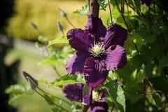 Dark purple clematis Royalty Free Stock Image