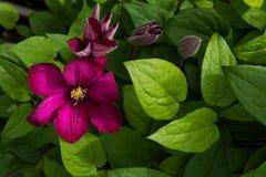 Dark purple clematis flowers in sunlight Stock Photos