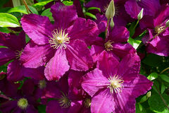 Dark purple clematis flowers. Stock Images
