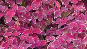 Dark purple Coleus. Coleus was a genus of flowering plants in the family Lamiaceae stock video
