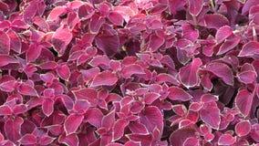 Dark purple Coleus. Coleus was a genus of flowering plants in the family Lamiaceae stock video footage