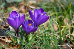 Dark purple crocus blooming flowers on blurry grass background royalty free stock photos