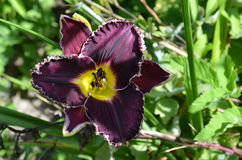 Dark purple daylily. With white edge in garden. Hemerocallis 'Spacecoast Night Vision Royalty Free Stock Photography