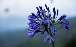 Dark Purple Flowers in Genting Highland. This picture was taken at Genting Highland, Pahang, Malaysia Stock Photo