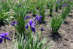 Dark purple flowers of iris in spring. Dark purple flowers of iris in late spring stock images
