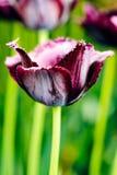 Dark purple frayed tulip in nature - very shallow depth of fiel stock photo