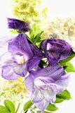 Dark purple gladiolus flowers isolated on white background. Purple wet gladiolus flowers isolated on white background Stock Image