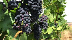 Dark grape with bloom and almost ripe berries in bunches. Dark purple grape with mat bloom and almost ripe berries in handsome bunches in among green leaves at stock video